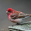 Male Purple FInch Minong Wi. May 2008