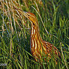 Female American Bittern at Harrier Marsh - Boone County Ia- May 2008