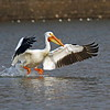 Pelican at Gravel Pit Boone County Ia April 2008