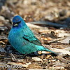 Indigo Bunting at my feeder Boone County Ia May 2008