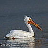 American White Pelican Boone, County Iowa April 2008
