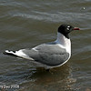Franklin's Gull at Saylorville Lake Polk County Ia April 2008