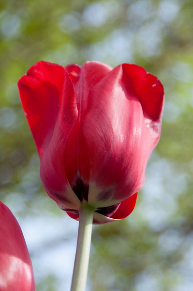 Oct 8, 2012<br /> <br /> Tulip from the spring. Found it in my archives