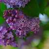 Purple Lilacs in May.