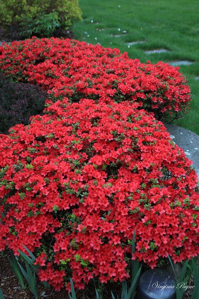 Red Azaleas in May.
