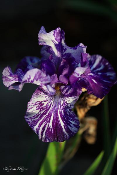 Purple zebra Iris