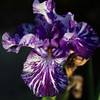 Purple zebra Iris
