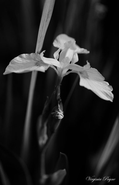 Yellow iris in B & W.
