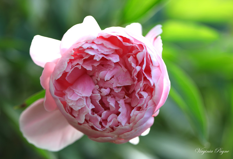 Light pink double blooms peonies