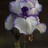 King Iris with ruffled purple edges