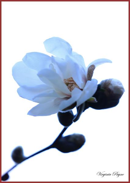 White Magnolia blossoms.