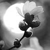 B & W magnolia.