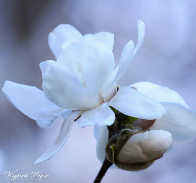 White magnolia.
