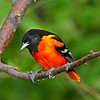Very Brilliant Male Baltimore (Northern) Oriole