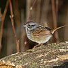 Swamp Sparrow - Boone County May 2011