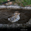 Bathing Clay-Colored Sparrow - My Yard-<br /> May 6, 2011