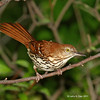 Brown Thrasher in my yard