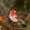 Male Purple Finch - My Yard April  2011