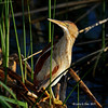 Least Bittern at Snake Creek marsh- Greene County