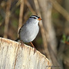 White-Crowned Sparrow, My yard, Boone County, May 2011