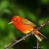 Summer Tanager- Boone Co (My Yard)