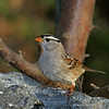 White-Crowned Sparrow- Boone County