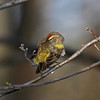 Preening Palm Warbler- Boone County 5/8/2011