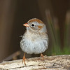 Cute view of Field Sparrow