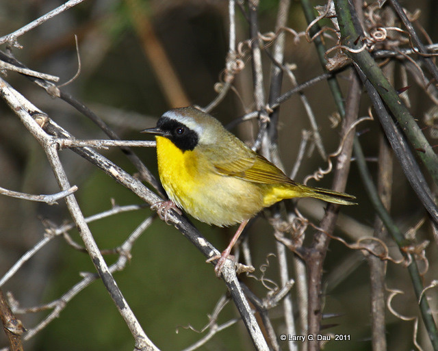 Common Yellowthroat my Yard - Boone Co.  May 2011