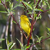 Yellow Warbler- Snake Creek Marsh- Greene Co