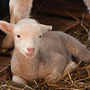 Sweetheart Lamb