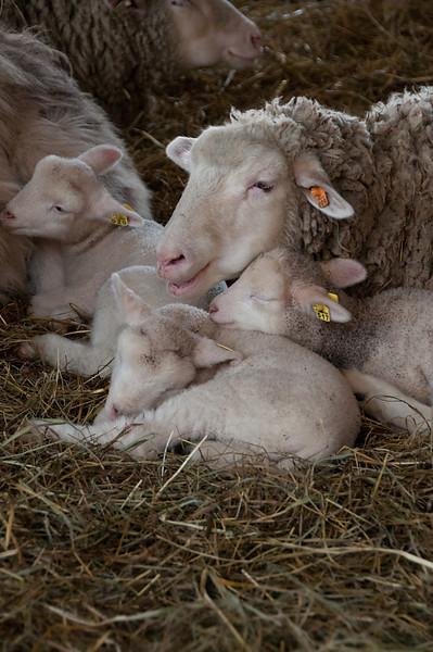 Lamb Lullaby