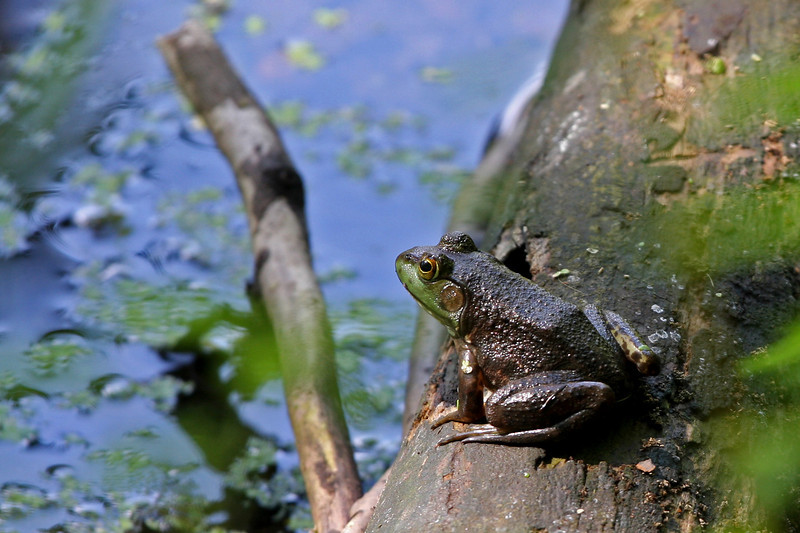 Frog,<br /> on a log.<br /> <br /> IMG_7119