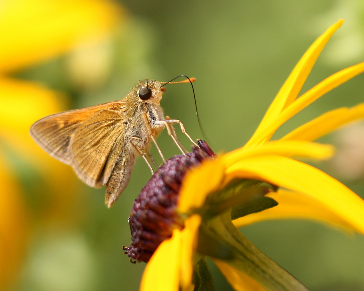 Delaware Skipper (possibly Dun Skipper, but there are so many variations of each it's hard to tell conclusively)
