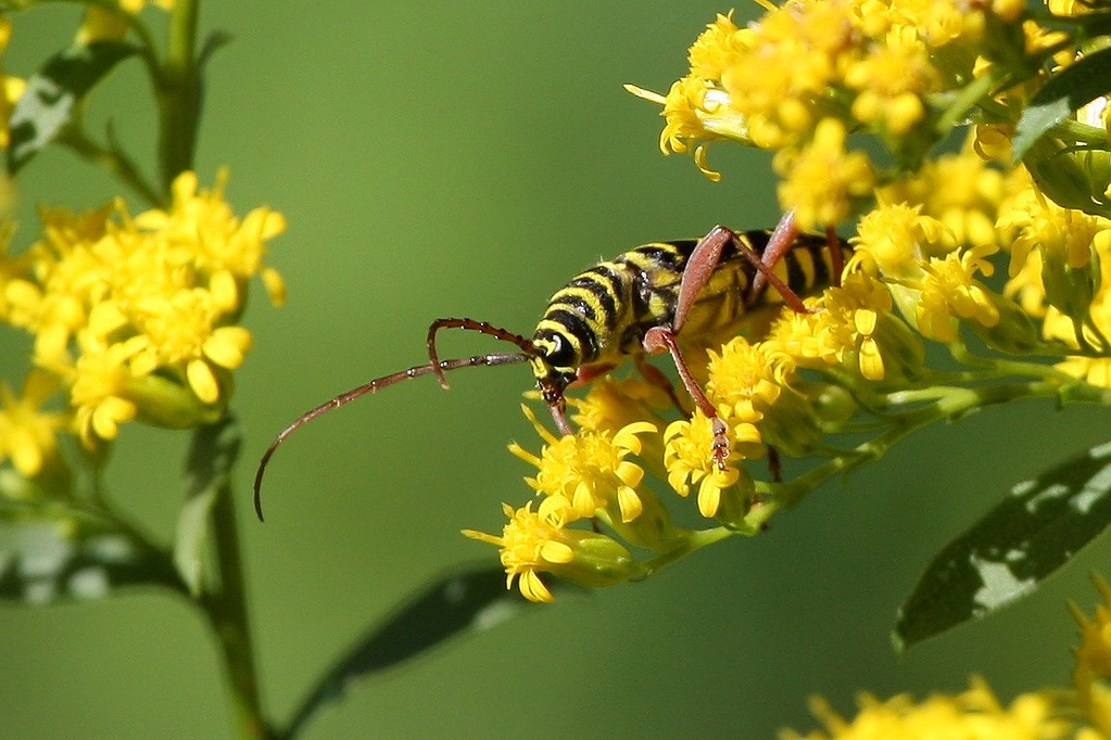 Locust Borer, so called because the larvae bore into Locust trees. Feeds on goldenrod pollen in late summer and early fall.