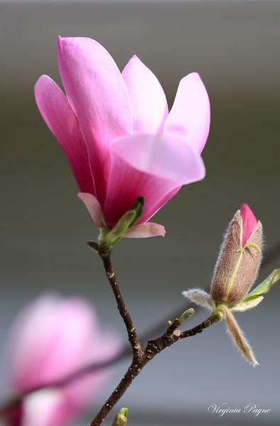 Pink Magnolia blossoms.