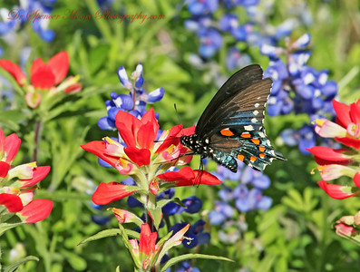 A Pipevine Swallowtail male frozen in place as he feeds on an Indian Paintbrush.
