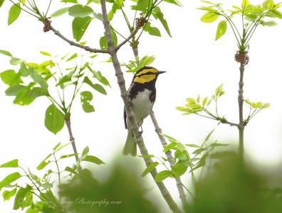 The Golden Cheek Warbler.
