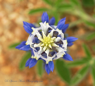 God's Kaleidoscope. A Bluebonnet as viewed from straight above.