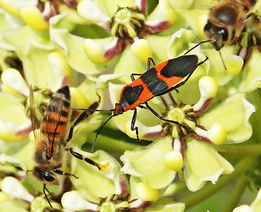 Here is a closer cropping of the picture so you can get the extra details of the insects. Both bees left a second later and the milkweed bug was contented again to have his privacy.