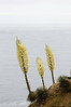Yucca Flowers Over the Sea
