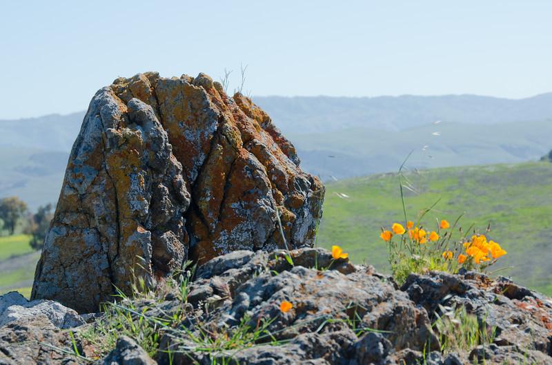 California Golden Poppies and Orange Lichen