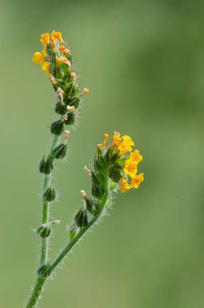 Fiddleneck grows along a fence line near the trail, making it a beautiful place to walk