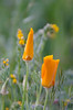 California State Golden Poppies