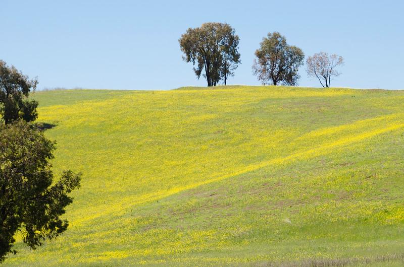 Fields of Mustard