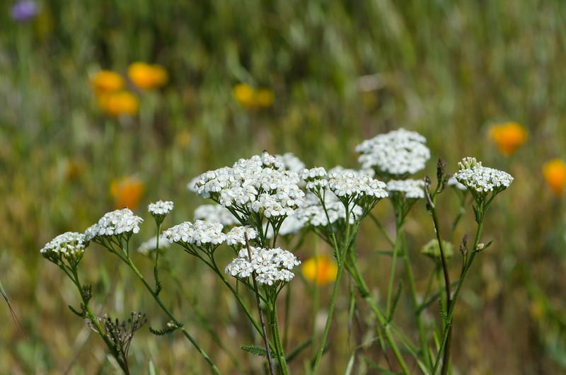 Yarrow/Milfoil blooms in the meadow.