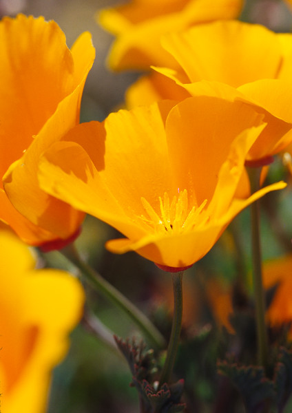 California State Golden Poppy