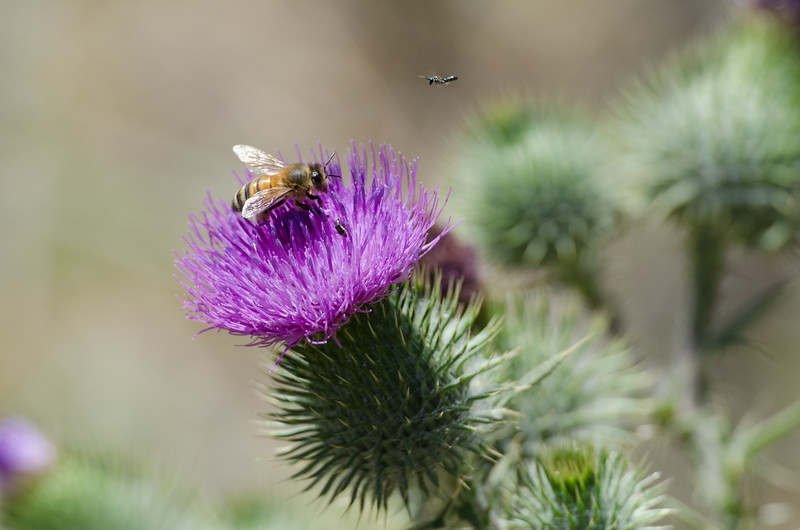 Rush Hour on a Bull Thistle