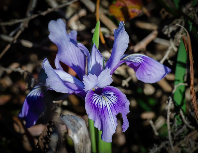 Native Wild Ground Iris