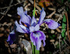 Native Wild Ground Iris
